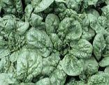 spinach - vegetable-source of iron