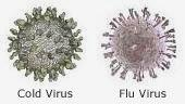 Image of cold virus and flu virus